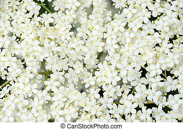 Detail of Elder flower (Sambucus nigra) with short depth of field