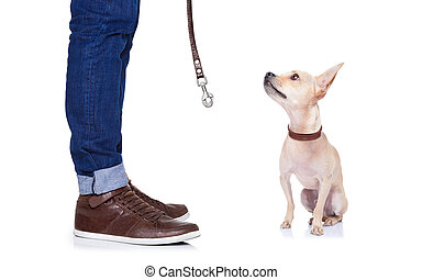 chihuahua dog waiting to go for a walk with owner with leather leash , isolated on white background