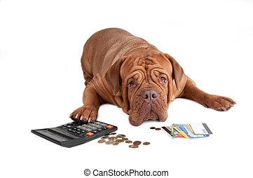 Dogue de bordeaux worried about its financial state