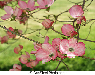 Close-ups of pink blooms adorning a Dogwood tree in spring.