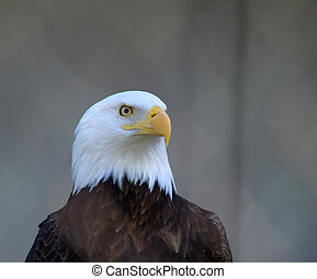 Eagle looking left