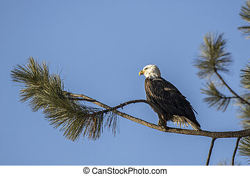 Eagle perched on a branch against a clear blue sky.