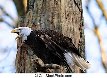 Eagles call