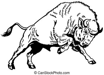 wisent european bison, attacking pose, black and white side view image