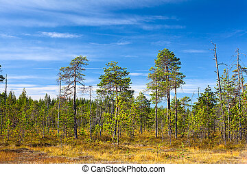 Evergreen forest in Karelian marshes with blue sky in summer season