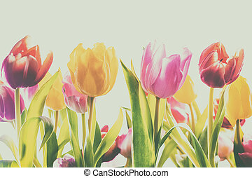 Faded vintage background of fresh spring tulips