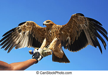 Falcon bird in the hand of the master of his wings.