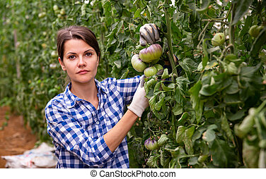 Female horticulturist near ripening purple tomatoes in greenhouse