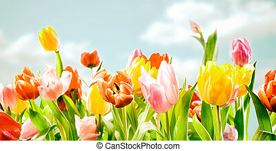 Field of colourful ornamental spring tulips