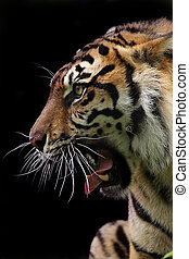 Closeup of an aggressive Sumatran Tiger against a black background.