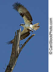 fish hawk with wings outstretched as it takes off from perch on top of old tree