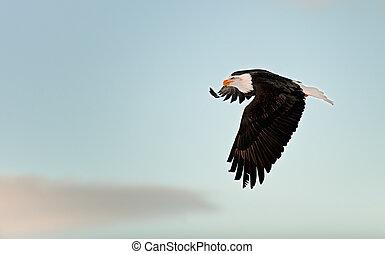 Flying Bald eagle.
