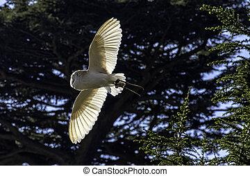 Flying common barn owl (Tyto alba)