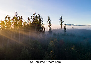 Foggy green pine forest with canopies of spruce trees and sunrise rays shining through branches in autumn mountains.