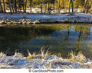 Frozen grass on river bank with many Trout fish swimming in cold freshwater, Germany, Europe