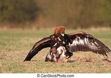 Golden Eagle with prey
