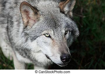 Gray Wolf Close-Up