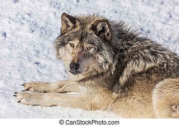 Gray Wolf in the Snow Looking up