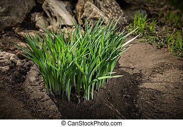 Green grass first spring shoots.