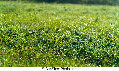 Green grass with dew drops in the morning at sunrise