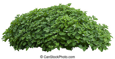 Green ornamental tree isolated