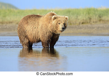 Grizzly Bear standing in river