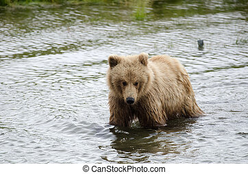 Grizzly bear standing in water