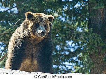 Grizzly bear standing on a rock ledge