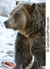 Grizzly Bear Standing Over Food