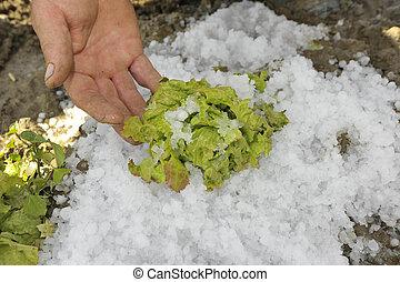 hail damage in salad crops