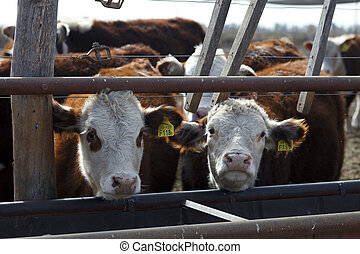 Hereford cattle