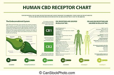 Human CBD Receptor Chart - Endocananbinoid System horizontal infographic illustration about cannabis as herbal alternative medicine and chemical therapy, healthcare and medical science vector.