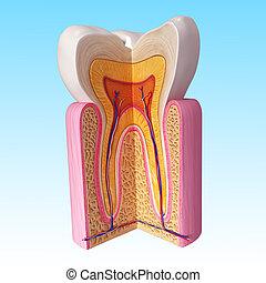 Human teeth cut section