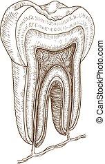 illustration of human tooth