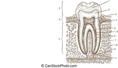 illustration of tooth diagram