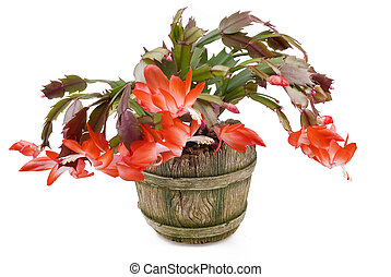 Indoor plant with red colors in a pot