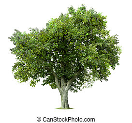 Apple tree isolated against white