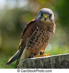 Kestrel, falco tinnunculus.