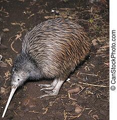 North Island brown kiwi, Apteryx australis, searching for food in New Zealand bush setting