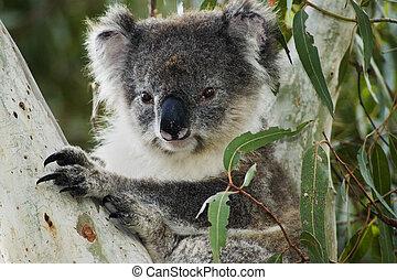 Koala in eucalyptus tree on Kangaroo Island/South Australia
