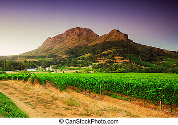 Vineyards of Stellenbosch wine region with a bleautiful sky at sunset, South africa