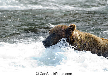 Large grizzly bear standing in water