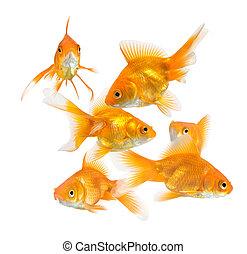 large group of goldfish