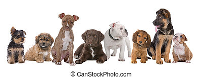 large group of puppies on a white background. from left to right, Yorkshire terrier, mixed breed boomer, pitbull terrier, chocolate labrador, French bulldog, dachshund, German shepherd and an English bulldog