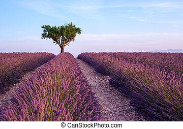 Lavender field summer sunset landscape with single tree near Valensole