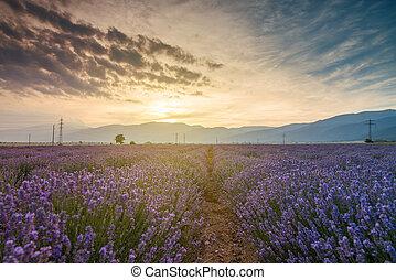 Lavender fields. Beautiful image of lavender field