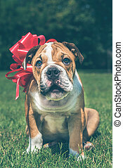 Little puppy of English bulldog for the present