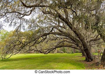 Live Oaks Bow Over Green Grass