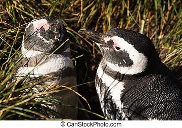 Magellan penguin couple in love