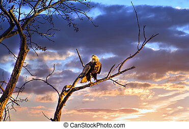 Majestic Bald Eagle perched on a tree branch in the sun against a beautiful sunset sky
